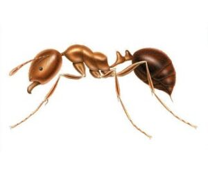 Fire common lawn ant
