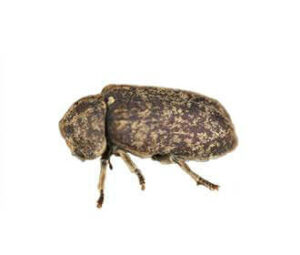Rodent beetle