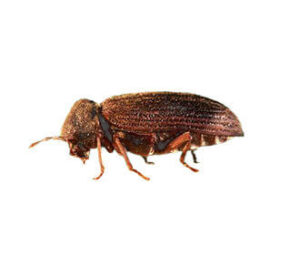 common rodent beetle